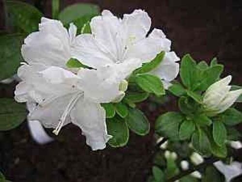 25-30 cm Rhododendron obtusum Tananami
