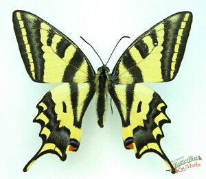 Alexanor-Cola-de-Golondrina-Mariposa-Papilio-Radigerii-Juego-X-1-Italia-j01