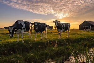 A1-Field-of-Cows-Poster-Art-Print-60-x-90cm-180gsm-Farm-Farmer-Cow-Gift-8119