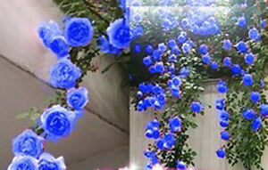 300-climbing-Rose-seeds-Balcony-hedge-tree-flowers-blue-red-pink-yellow-purple