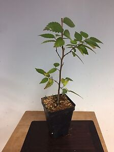 "AgréAble Zelkova Serrata, Japanese Grey Bark Elm Pre Bonsai Seedling Stock. 2 1/4"" Potted"