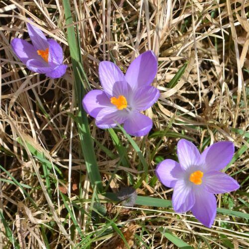 Espèces Crocus Whitewell Violet X 15 ampoules début du Printemps Floraison.
