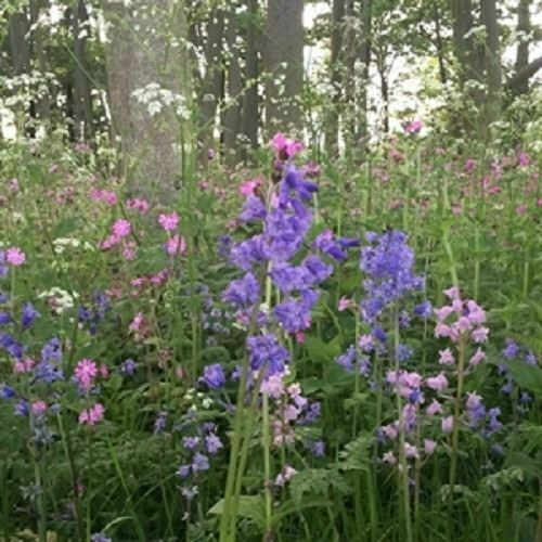 Wild Flower Seed Mix for Woodland and Heavy Shade 10g