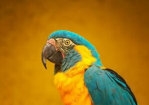 A1-Blue-Throated-Macaw-Poster-Art-Print-60-x-90cm-180gsm-Parrot-Bird-Gift-16399