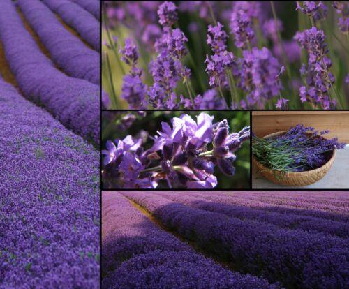5000 a 10000 SEMI DI LAVANDA VERA-estratto di angustifolia-PROFUMO-Lavender