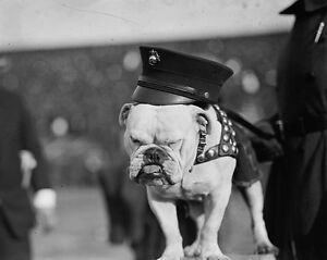 United-States-Marine-Corps-English-bulldog-mascot-Photo-Print