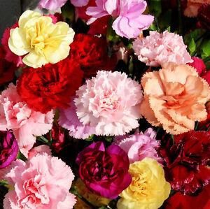 30 Seeds//Pack Carnation Seed Dianthus Cut Flower Plant Original Pack J006