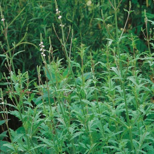 Herb Seeds-Verbena 500 Semi