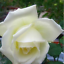 Semillas-rosas-disponible-en-9-tonos-diferentes-10-20-o-30-semillas miniatura 3