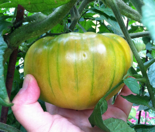 Large Tomatoes Green Pineapple Tomato Seeds S//H  See Our Store Comb