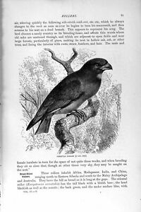 Old-Antique-Print-Natural-History-1895-Oriental-Roller-Bird-Africa-India-19th