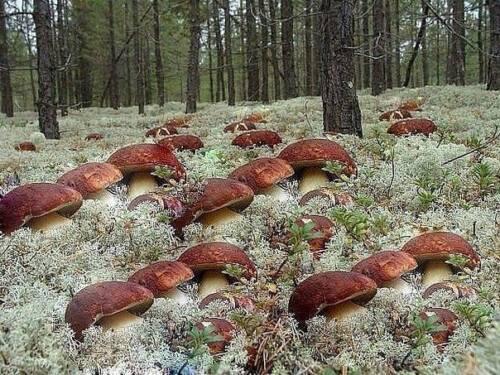 Pine Bolete Mushroom Boletus pinophilus grain dry mycelium 10 g or 30 g Ukraine