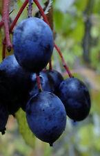 Heirloom Nanny Berry fruit shrub tree wild raisin Exotic Native LIVE PLANT