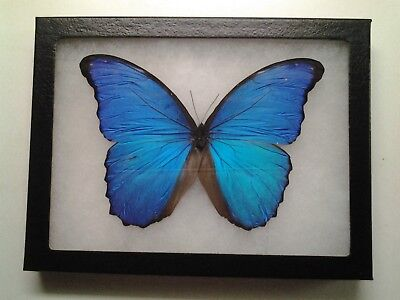 TWO EXTRA LARGE 2 A1 UNMOUNTED MALES- PERU MORPHO DIDIUS