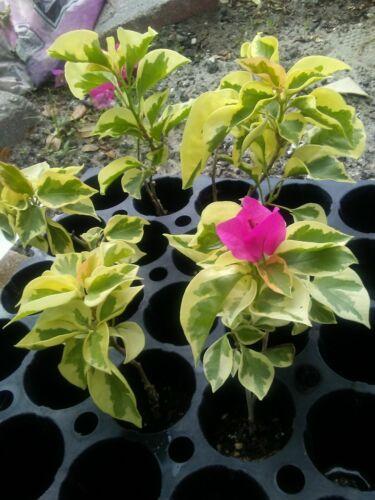"""Bougainvillea  mix colors 20 live plants 6/""""+"""