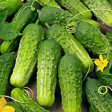 """"""" BOSTON PICKLING """" CUCUMBER SEEDS * CONTINUOUS PRODUCING * HIGH YIELDS *"""