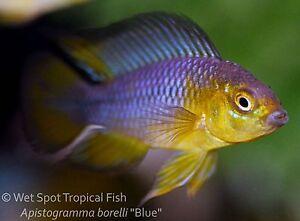 ... Apistogramma borelli Blue Dwarf Cichlid TR Live Fresh Tropical eBay