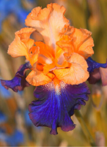Color Iris 2 Bulbs Bearded Resistant Flowers Perennial Mixed Reblooming Garden
