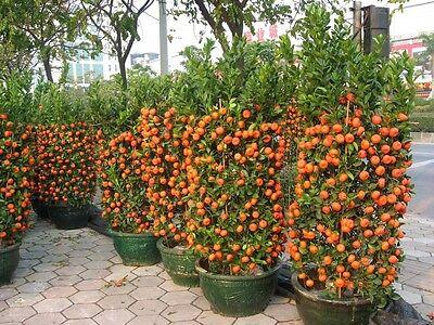 Dwarf * Sweet Tangerine Tree Seeds * Makes A Great Houseplant