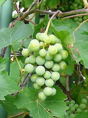 10 Purple CONCORD GRAPE Fruit Vine Vitis Labrysca White Flower Seeds *Flat Ship