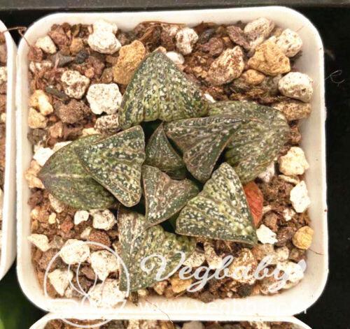 "Haworthia splendens スプレンデンス 花葵 Rare Succulent Plant in 3/"" Pot"