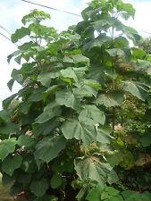 Paulownia tomentosa  (50 graines seeds)