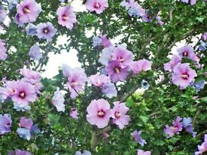 White Or Purple Hardy Hibiscus Syriacus Rose Of Sharon Rooted Live