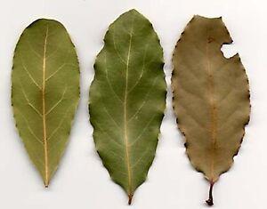 Sri-lanka-Natural-Organic-dried-Avocado-Leaves-amp-Powder-Green-Tea-Free-Ship