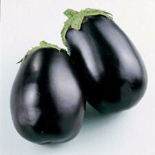 MELANZANA BLACK BEAUTY 80 SEMI Facile Coltivazione Precoce Bellezza Nera Tonda