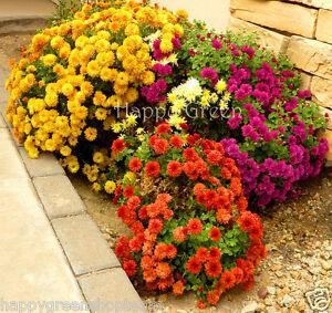 Image Is Loading GARDEN MUM MIX 300 SEEDS Chrysanthemum Indicum Hortorum