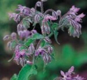 Herb-Seeds-Borage-250-Seeds