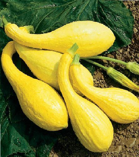 Vegetable - Courgette - Early Yellow Crookneck - 18 Seeds
