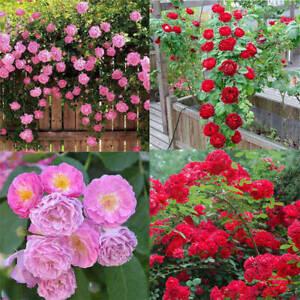 Rose-red-Seed-Decor-Garden-100pcs-Plant-Pink-Perennial-Flower-Climbing-Seeds