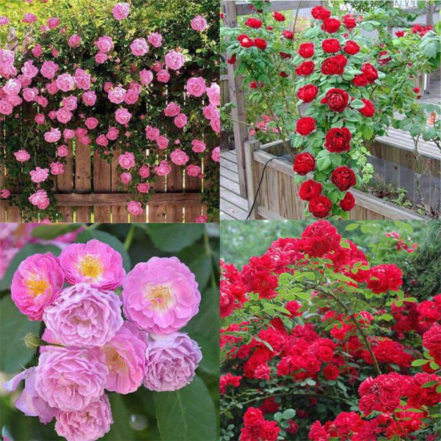 Rose red Seed Decor Garden 100pcs Plant Pink Perennial Flower Climbing Seeds