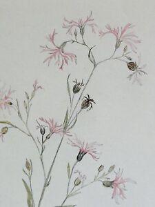 Monogrammist-034-H-S-034-Pflanzen-Aquarell-1950-FEDERNELKE-Nelke