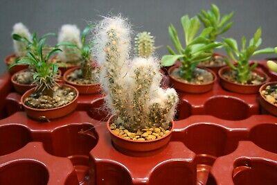Opuntia Santa Rita Talee Cutting Cactus Succulents Plants