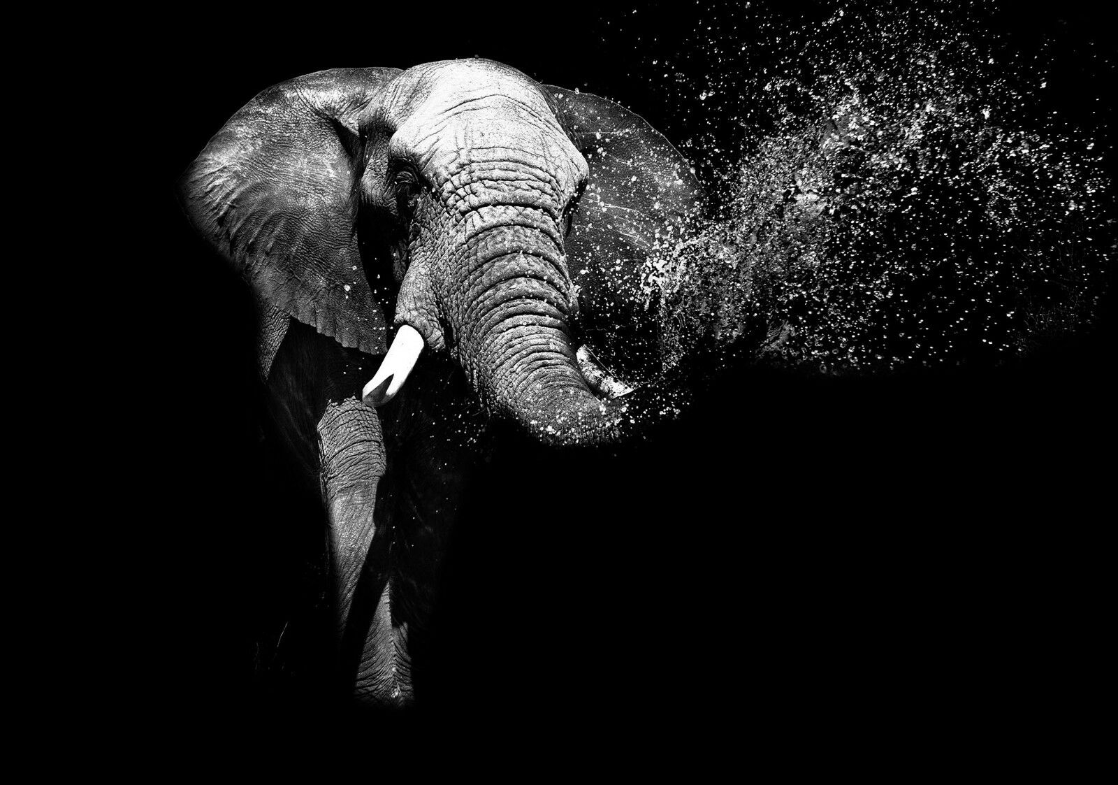 VLIES Fototapete-ELEFANT-(11769)-Rüssel-Tiere Afrika Asien Schwarz-Weiß Indien