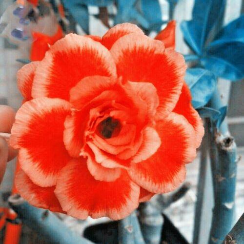 2 seeds Rose Orange Adenium Desert Rose Seeds