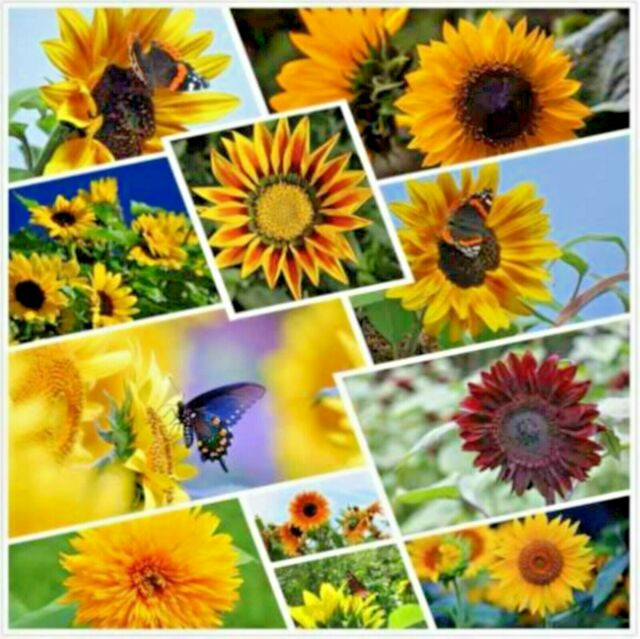 5000+ Sunflower Seeds Mix Pack - 15+ Varieties big packs sunflower variety US 50