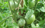 German-Johnson-Tomato-Fruit-Have-Nice-Flavor-With-Rich-amp-Creamy-Texture