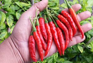 Teja Chilli - A Fine Chilli Variety from Guntur District, Andhra Pradesh, India