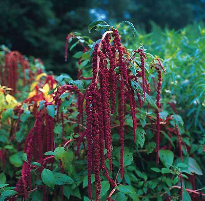 Flower - Amaranthus caudatus Red -  Love Lies Bleeding - 500 Seeds