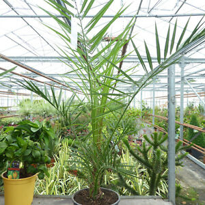 Image Is Loading Phoenix Palm Tree Garden Exotic Outdoor Plant 7