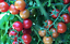 Hardy-Tom-Tomato-A-Large-Cheery-Type-Fruit-Fly-Resistant-Tomato-10-Seeds