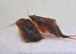 Triops Cancriformis Starter Set Ultra avec beaucoup d'aliments et d'œufs de crabe urinaires