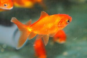 Red Fantail Fancy Gold Fish / Goldfish / Fan Tail. Live ...
