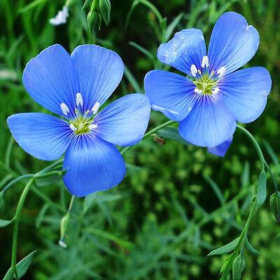 Flax Family Seeds 40 Seeds Linum Perenne Blue Linen Flower Garden Seeds Hot A083