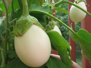 30 Red Eggplant Seeds Aubergine Solanum Integrifolium Organic Vegetables