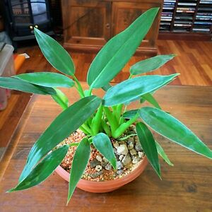 Philodendron-Martianum-seeds