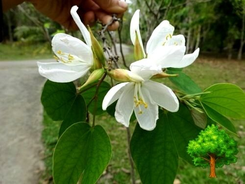 *UNCLE CHAN 100 SEEDBAUHINIA ACUMINATA DWARF WHITE ORCHID BUTTERFLY TREE SN C588